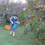 甘夏の収穫