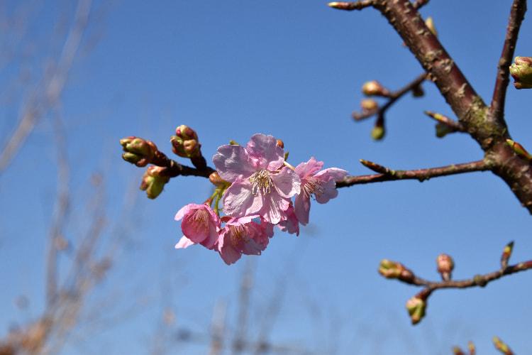 トモ子桜|水俣病センター相思社
